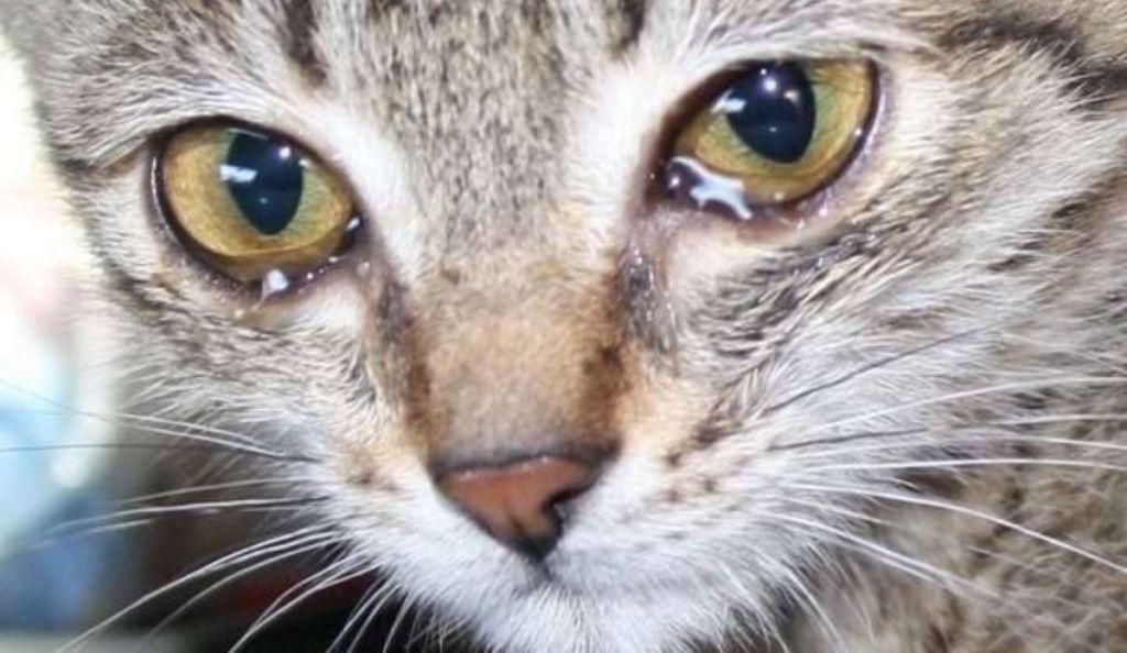 У котенка текут глаза