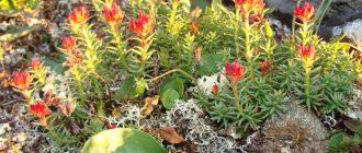 Красная щетка: применение этой травы избавит от многих женских болезней