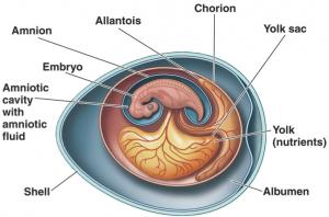 Хорион появляется в самом начале беременности
