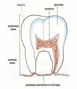 Stroenie-molochnogo-zuba-001