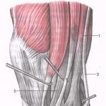Анатомия и тренировка мышц бедра