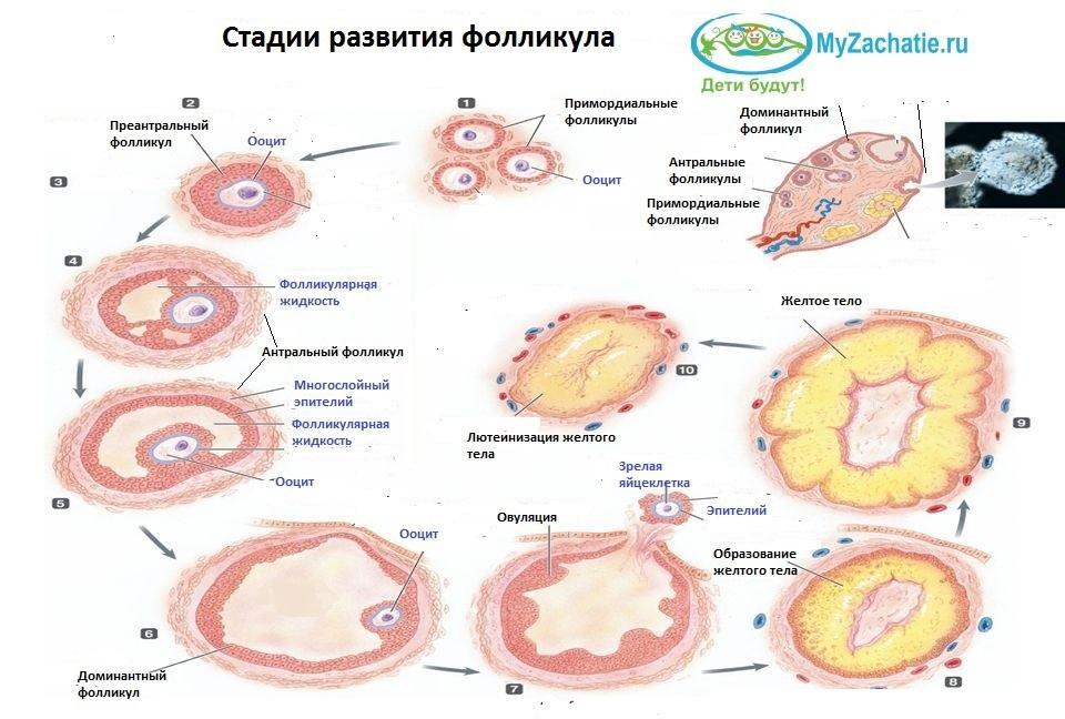 Развитие фолликуля в яичнике: схема