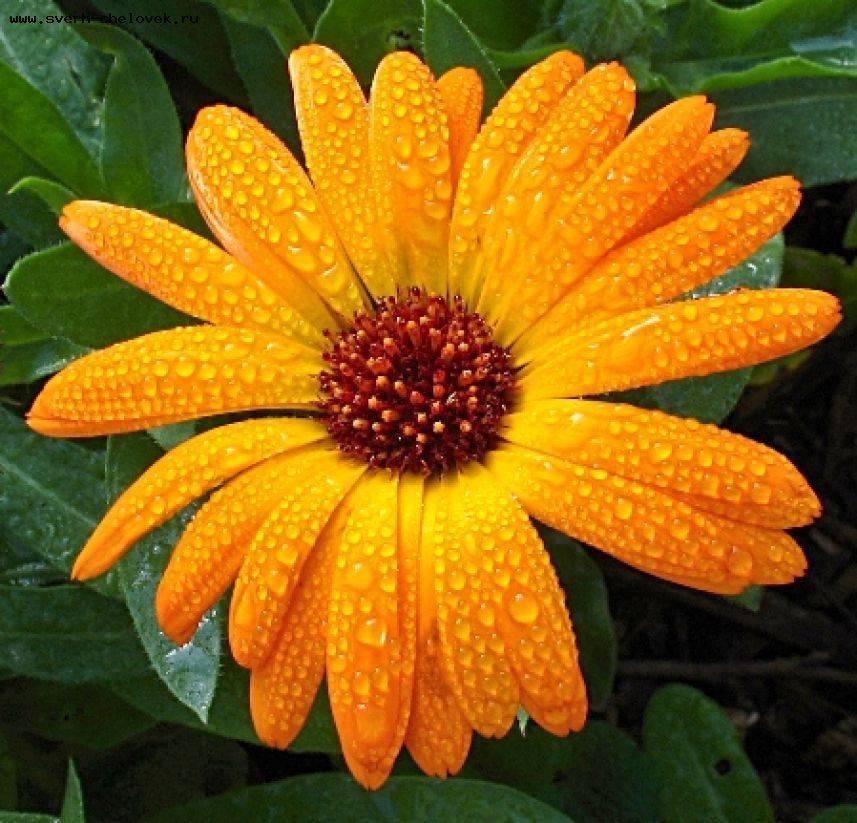 Это растение поможет бороться с больным горлом