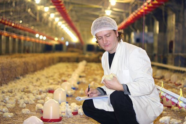 Ветеринар осматривает цыплят