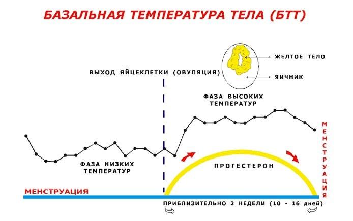 bazalnaya-temperatura-tela-pri-ovulyacii