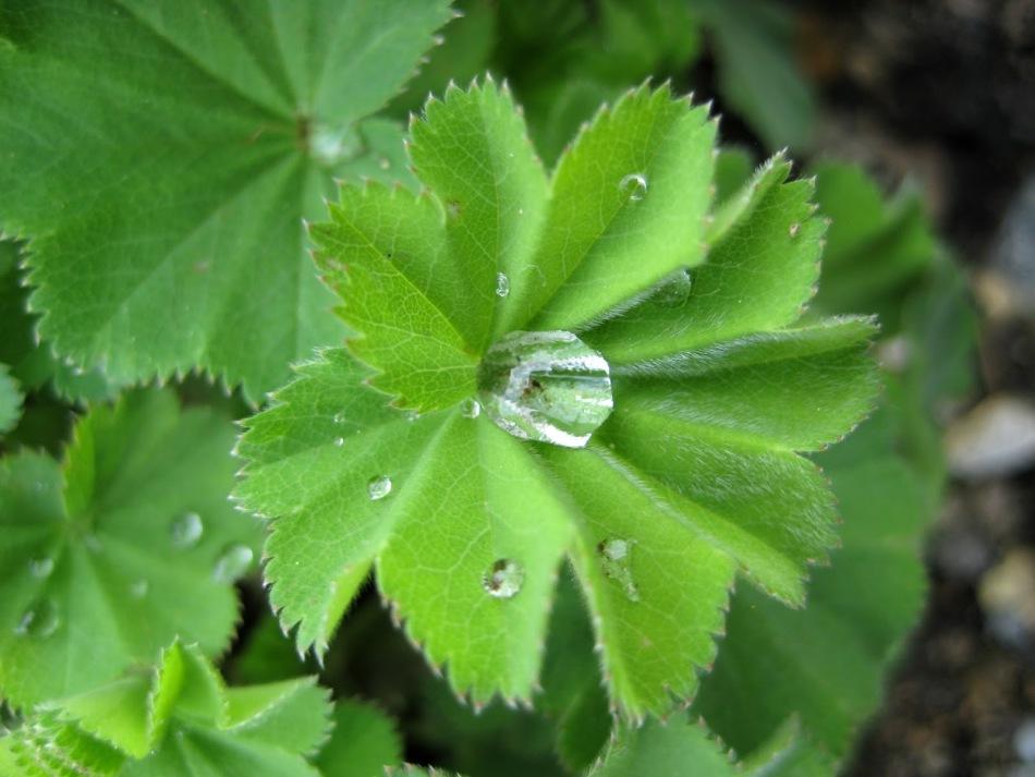 Фото травы манжетки в природе