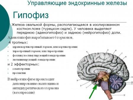 Гипофиз продуцирует большинство гормонов в организме человека