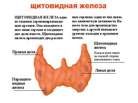 Щитовидная железа также является гормонорподуцирующим органом