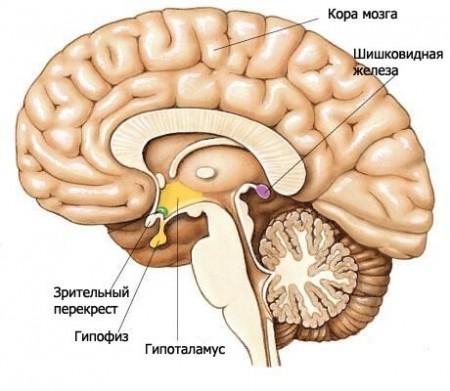 Гипоталамус координирет работу всех эндокринных желез