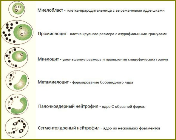 Процесс развития нейтрофила в организме