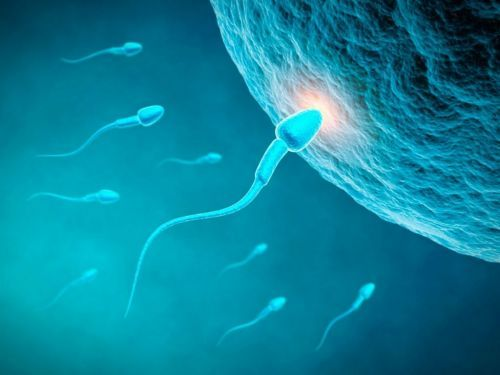 оплодотворённая яйцеклетка