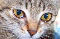 Почему у кота слезятся глаза: причины, что делать и чем лечить