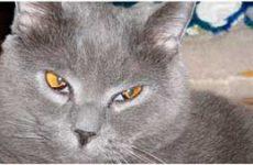 Заболевания третьего века у кошек