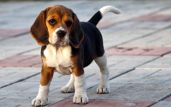 Затяжная течка у собаки