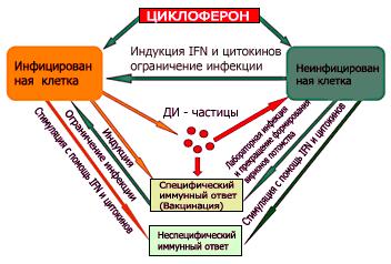 Схему работы Циклоферона