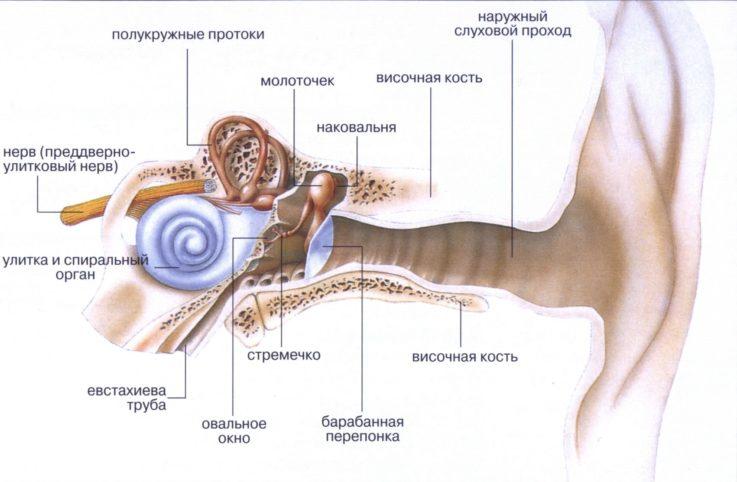 Коротко об анатомии