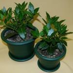 Выращивание и правильный уход за лавровым листом в домашних условиях