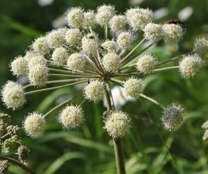 Цветки дягиля
