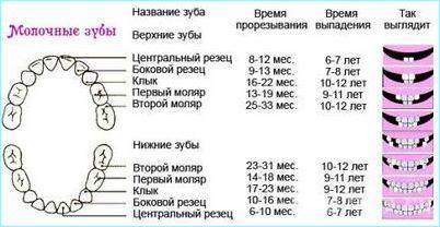 Рост зубов у детей таблица, сроки, очередность